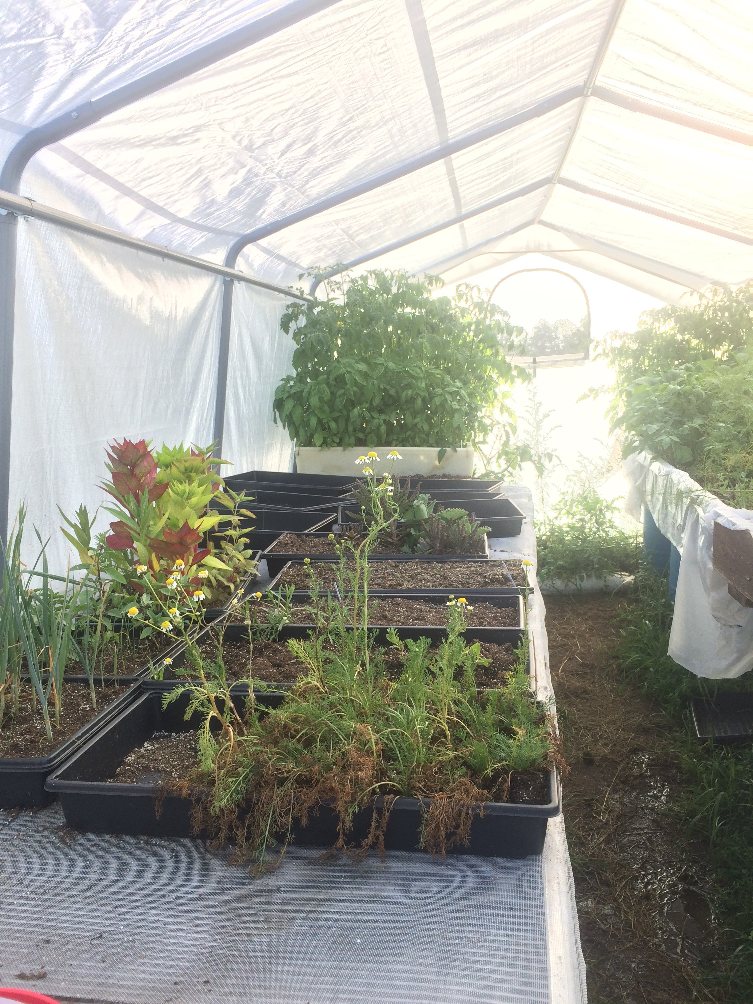 The greenhouse before we transplanted second planting of tomatoes, basil, peppers and tomatoes