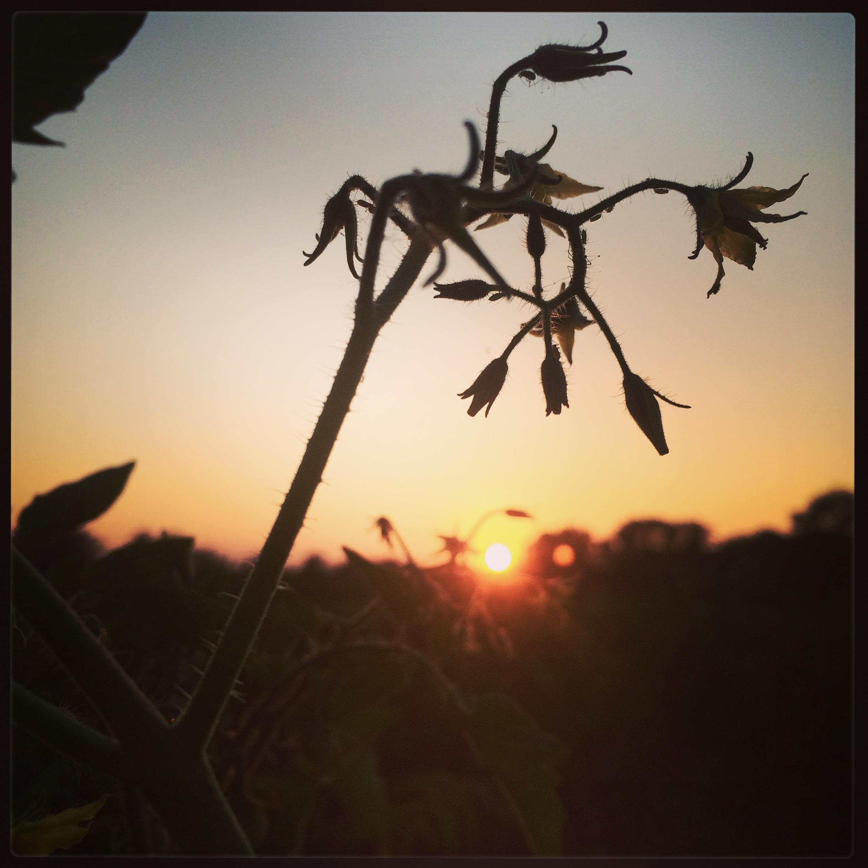 tomato flower sillouhette sunset