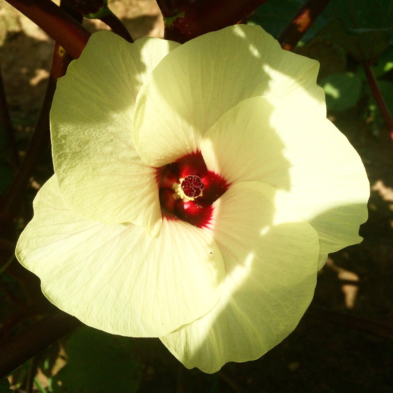 Okra Flower! The most beautiful veggie flower!
