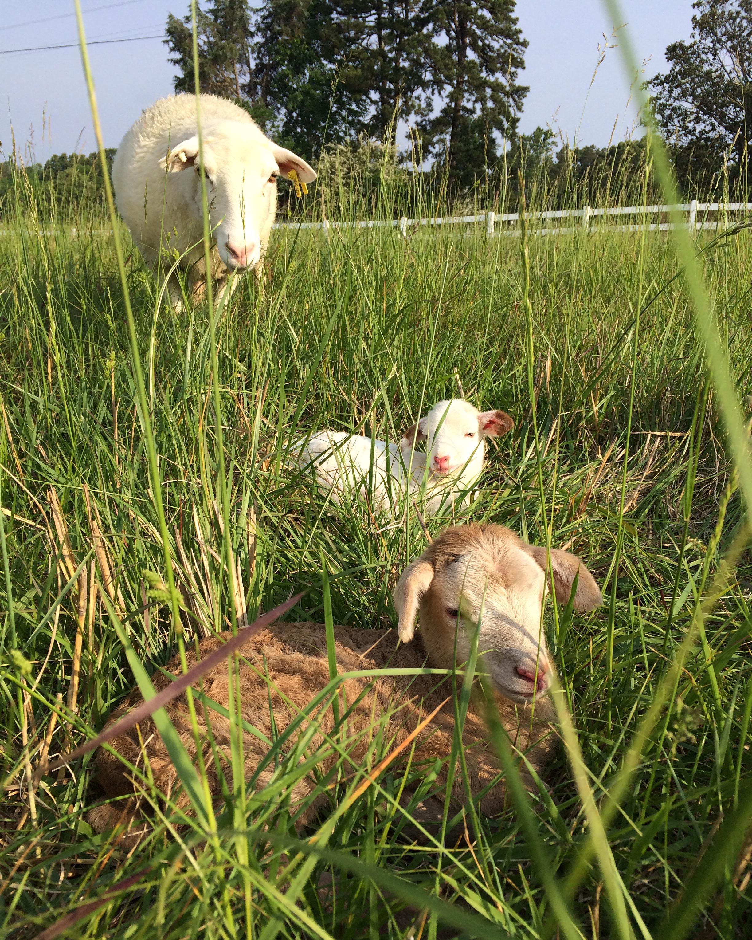 Lambing season is always fun and adorable.