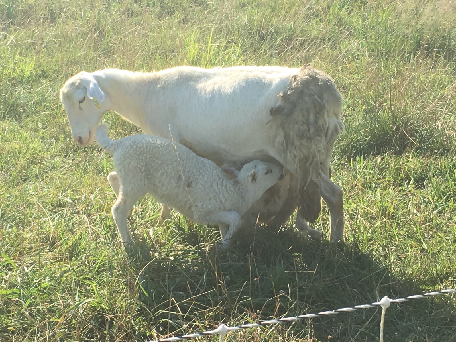 A momma and her lamb.