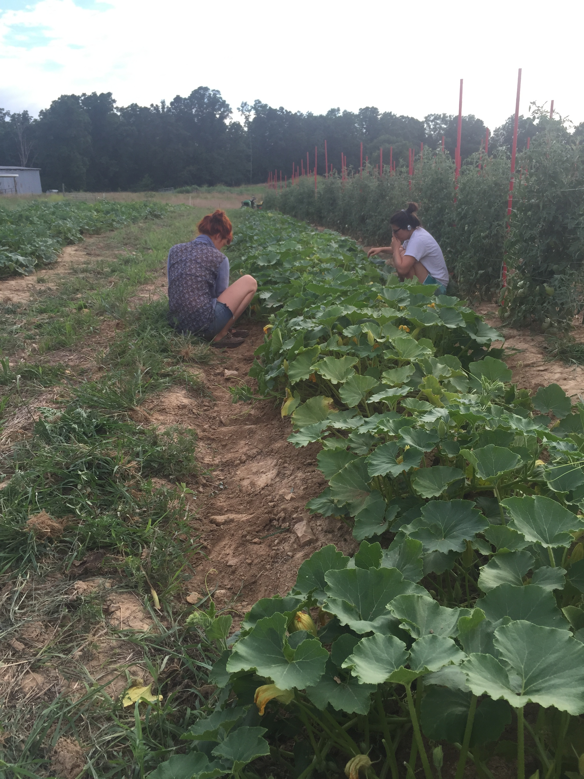 Weeding the winter squash