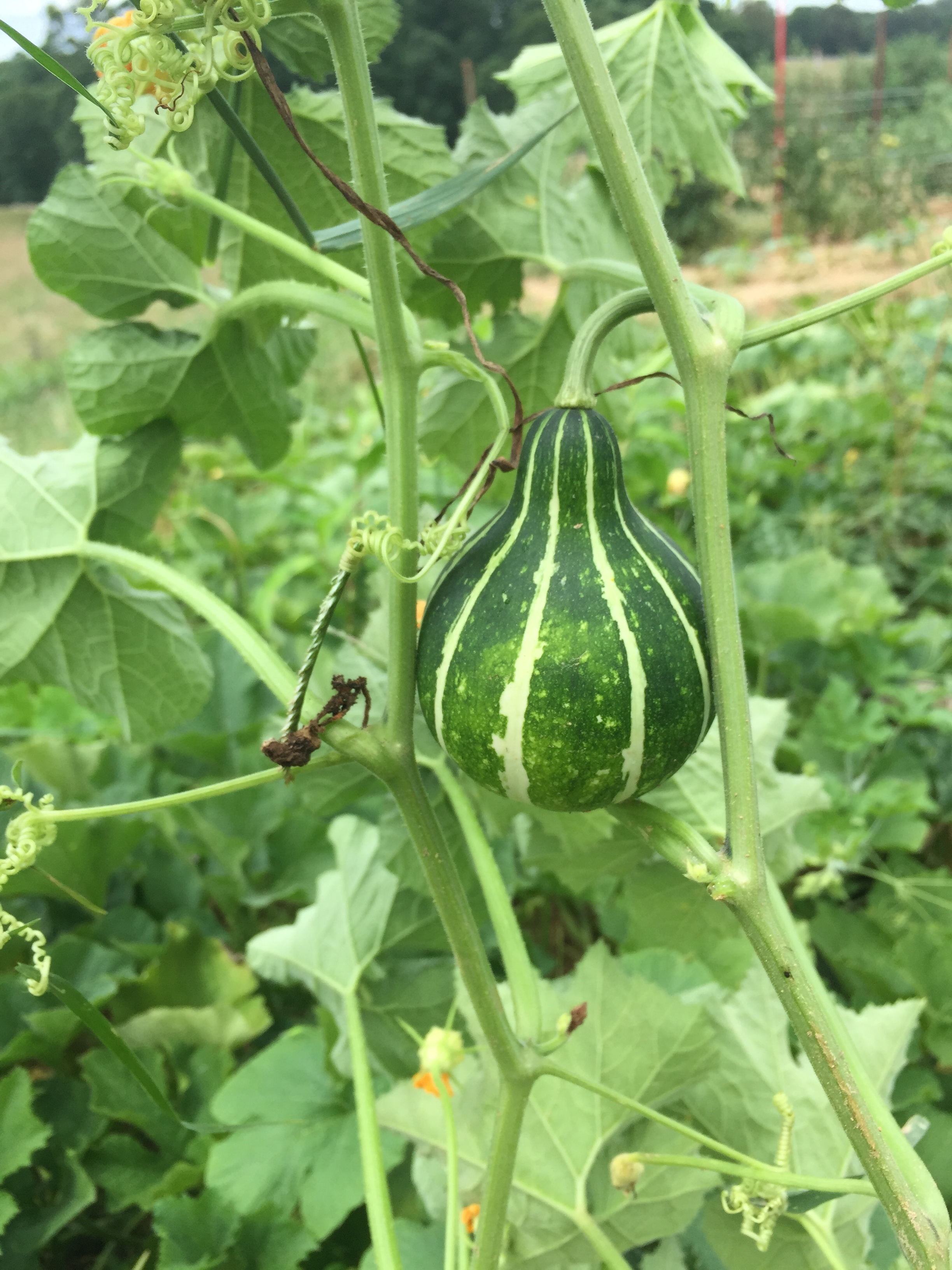 Decorative gourds in the winter squash patch!