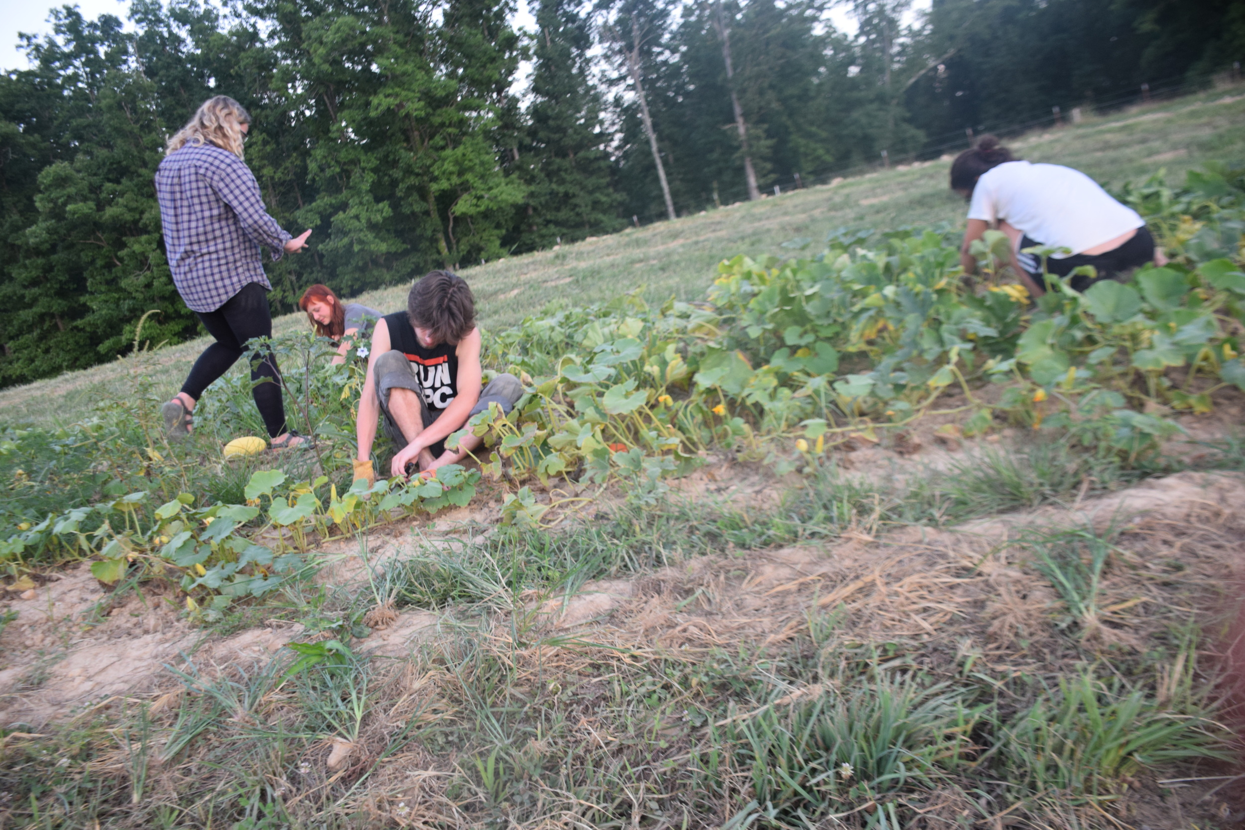 Austeja, Gabe and Megan weeding winter squash.