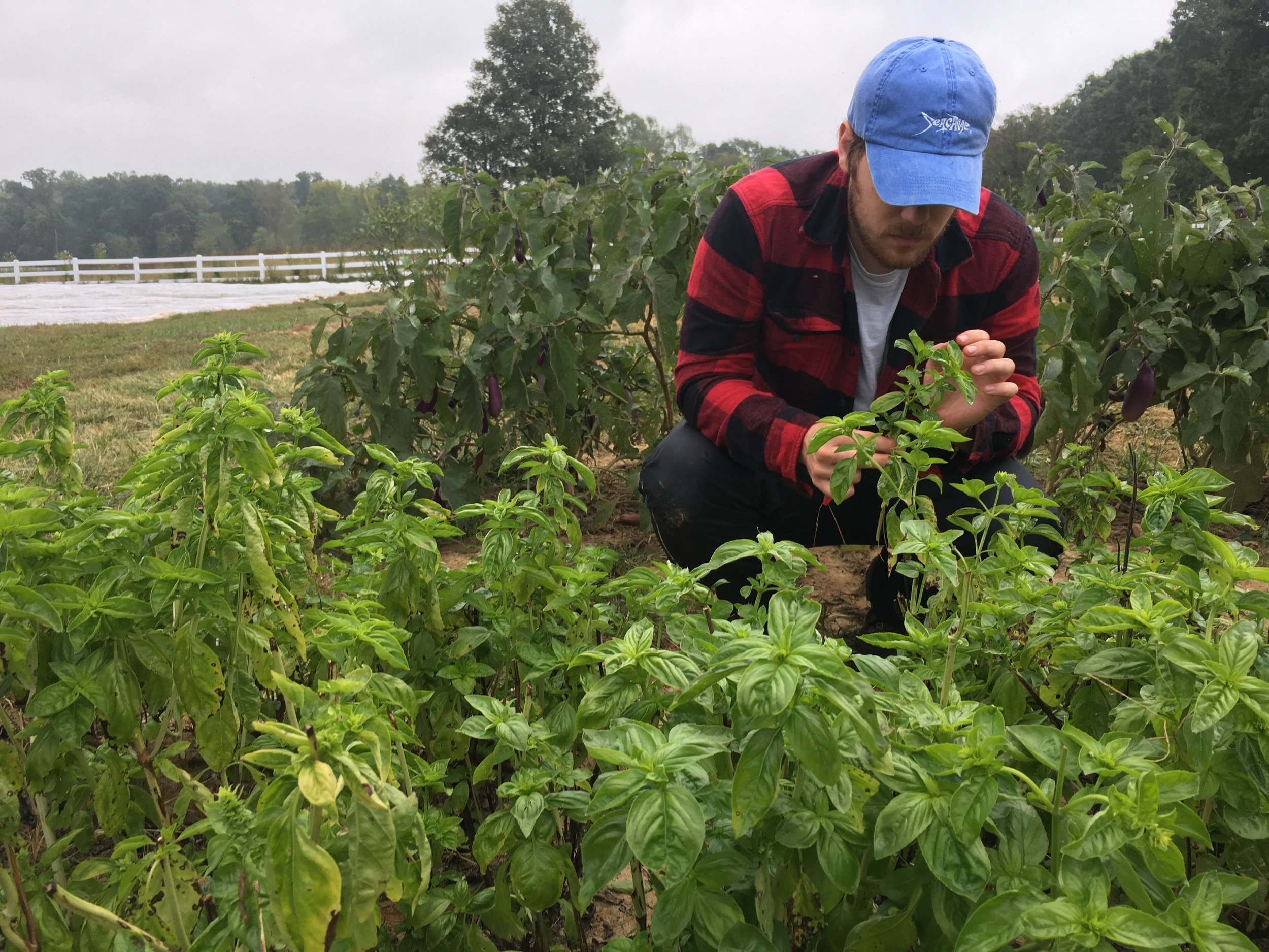 Ty harvesting basil! look he's wearing flannel! It's chilly!