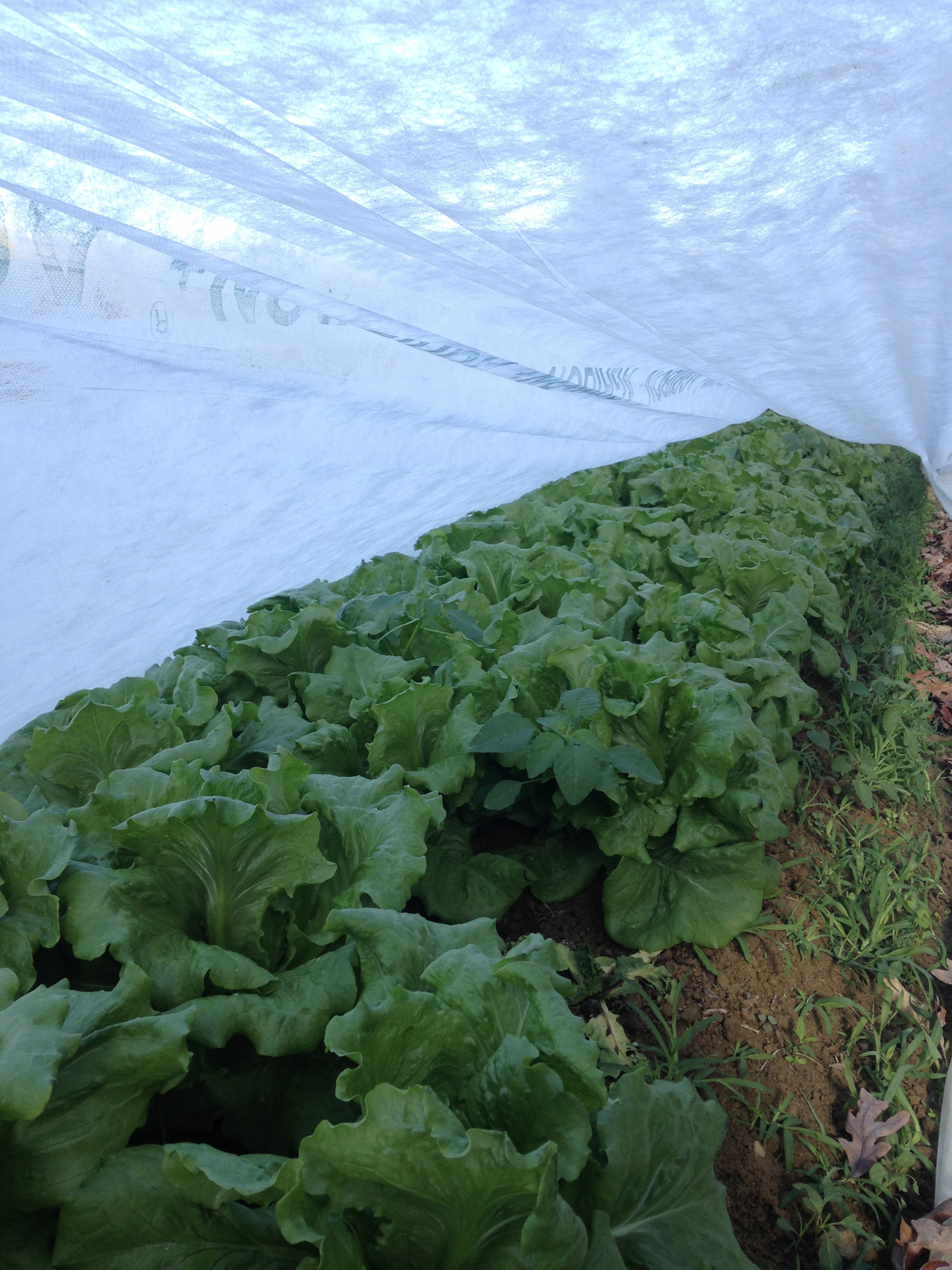 head lettuce! Looking good!