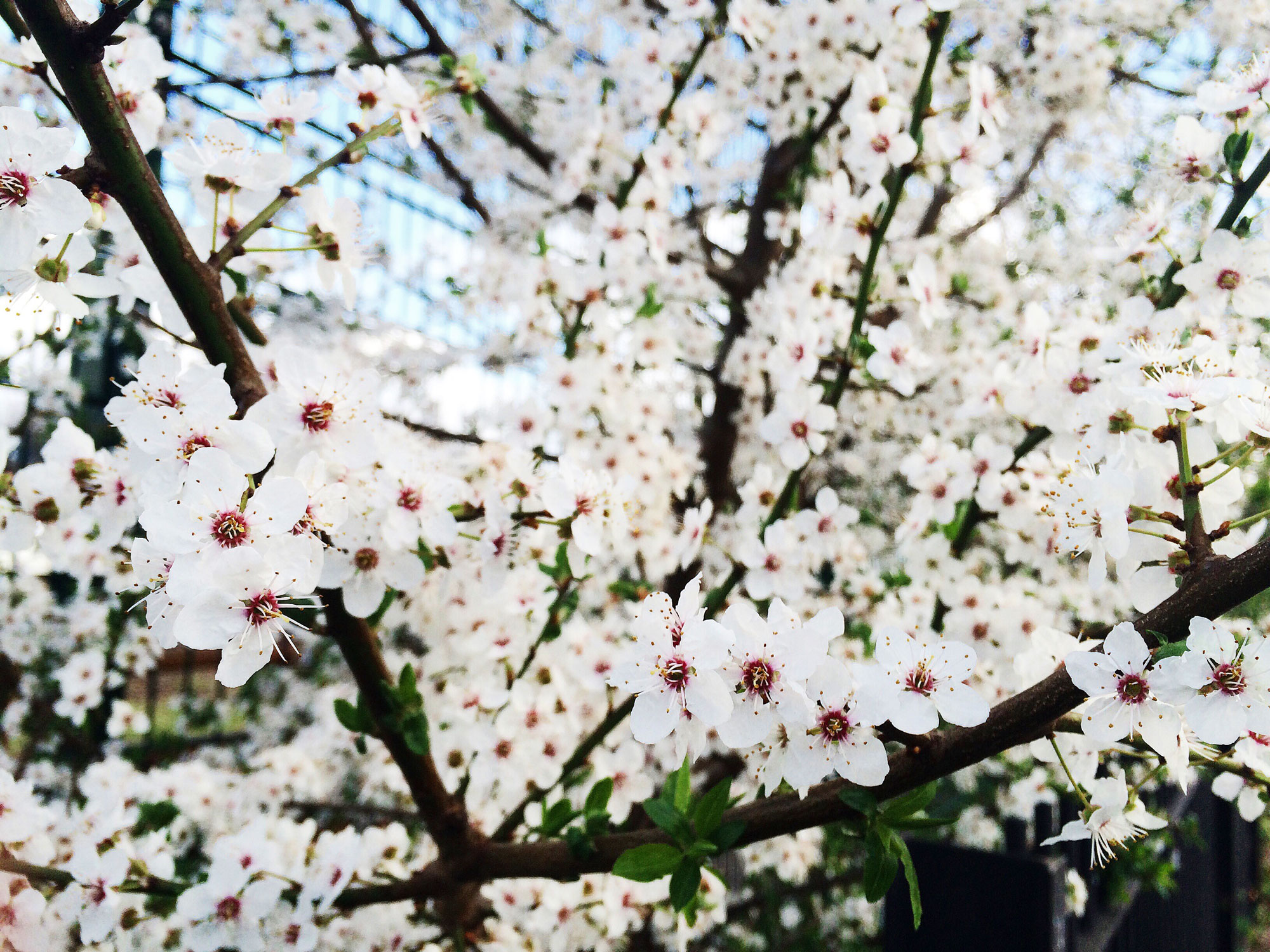 White flowers, London -2016