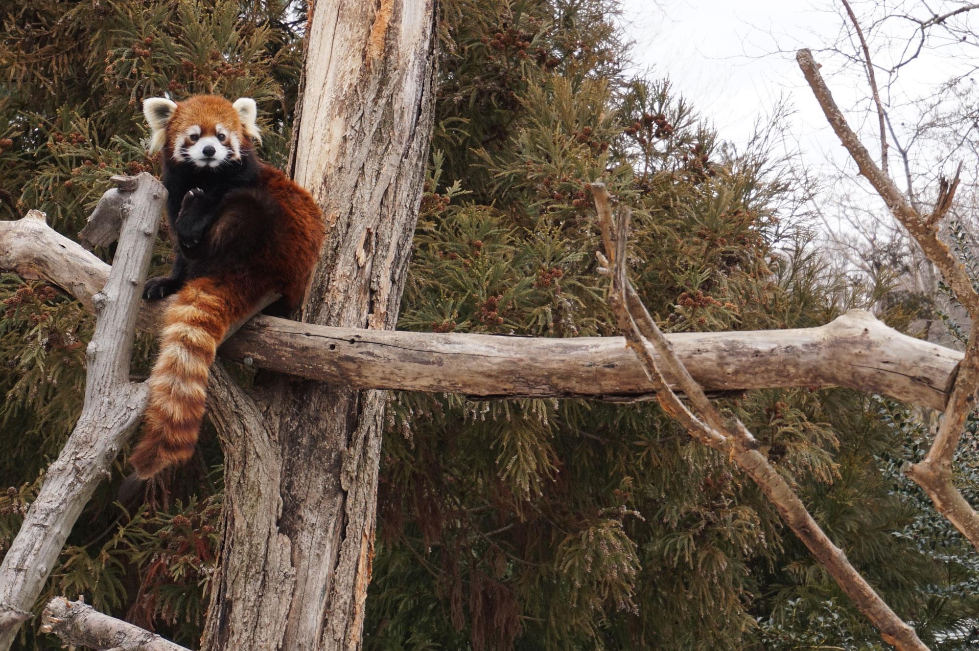 Red Panda, New York - 2015