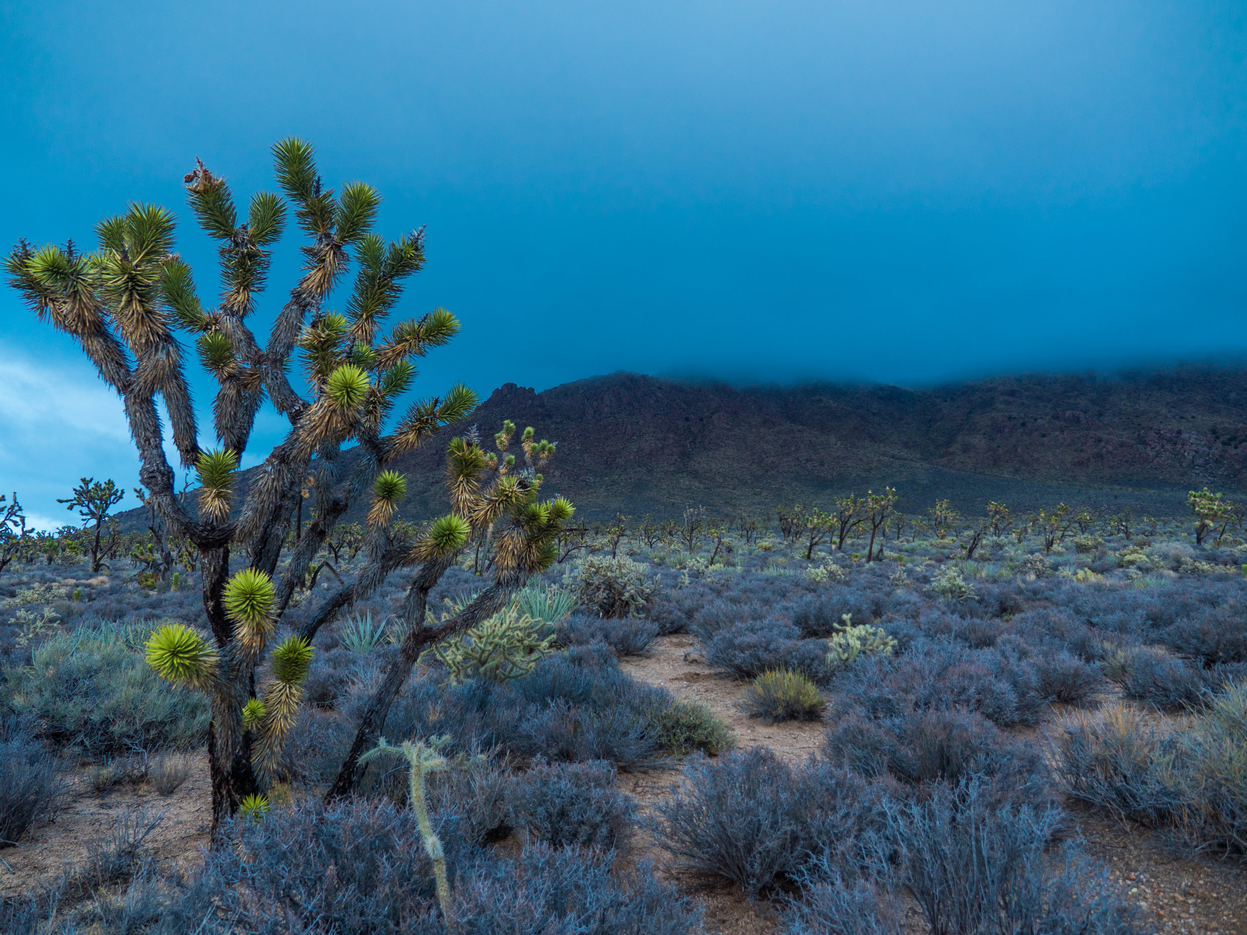 Joshua Trees in Mojave