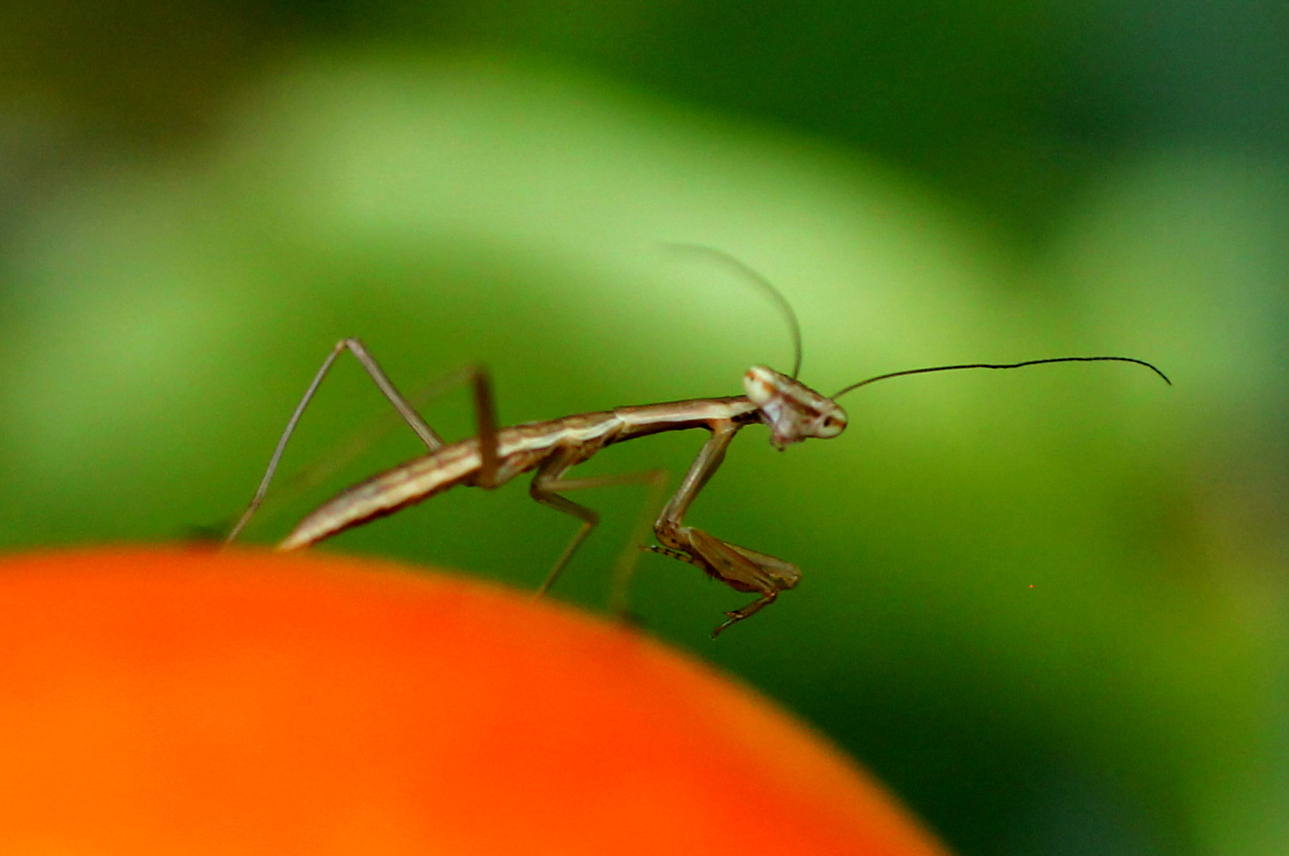 Baby Praying Mantis 2014-2.jpg