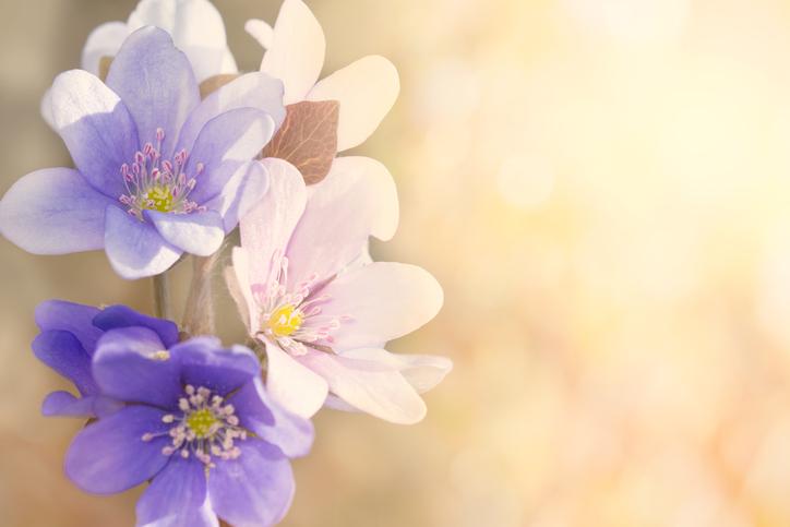 Flowers Purple -518727746.jpg