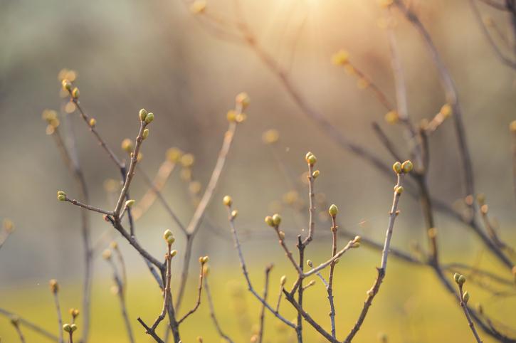 Tree buds spring -509726494.jpg