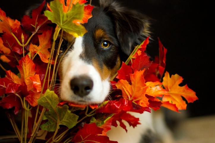 Thanksgiving Dog498796056.jpg