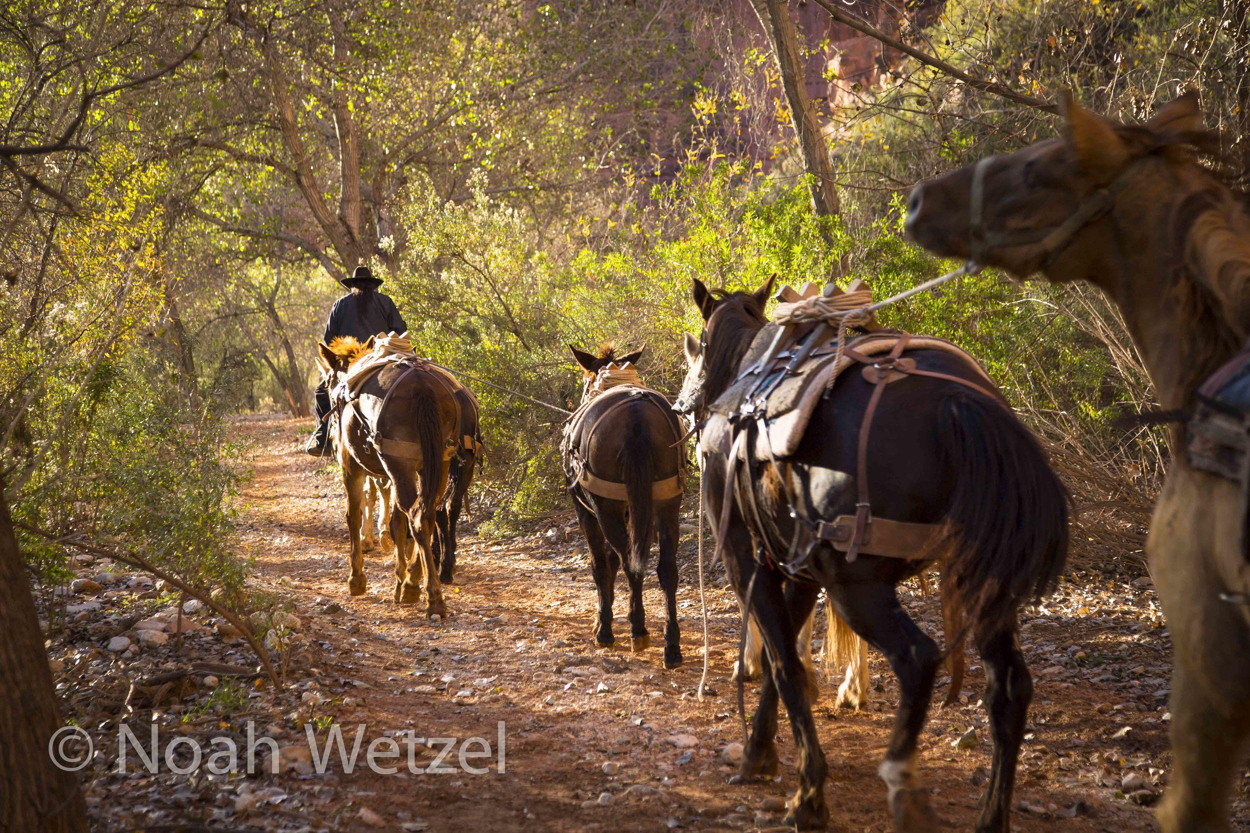 Packs of Mules heading to Haulupai Hilltop. Supai, Arizona