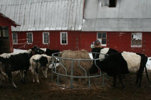 feedingcows