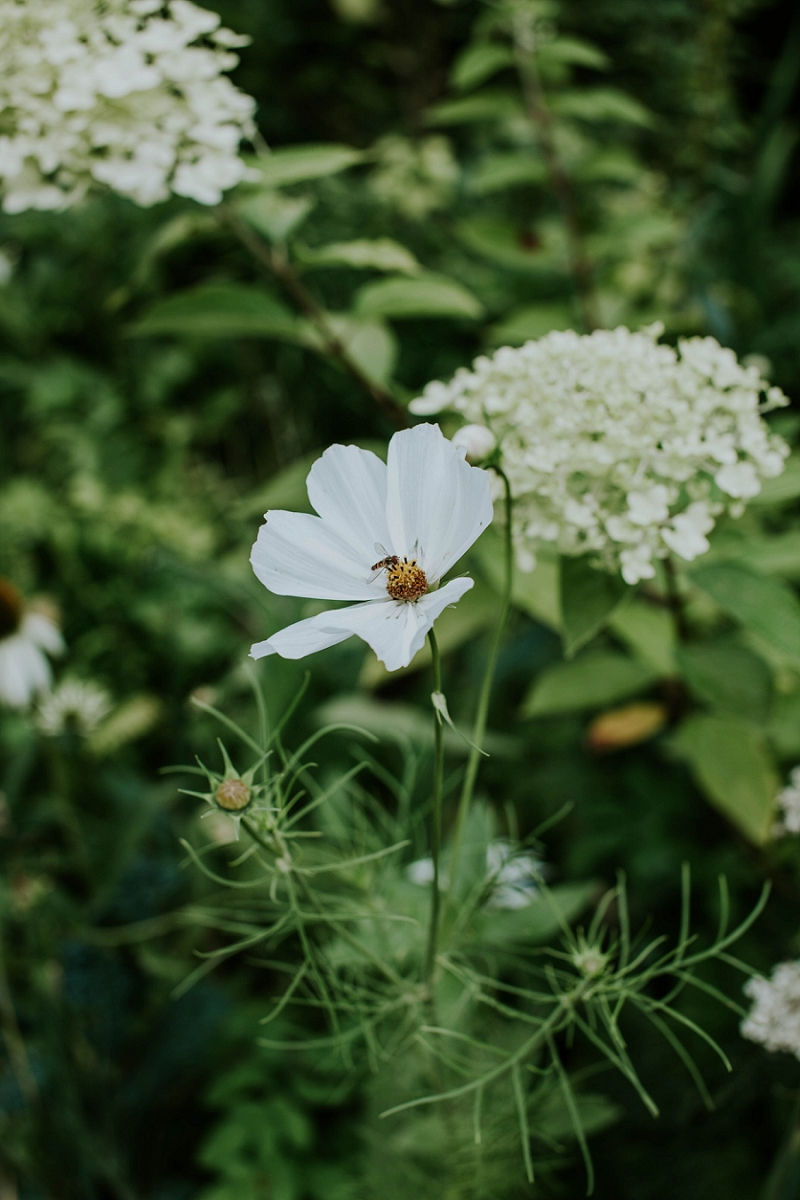 cosmos-purity-blomster-fotografering