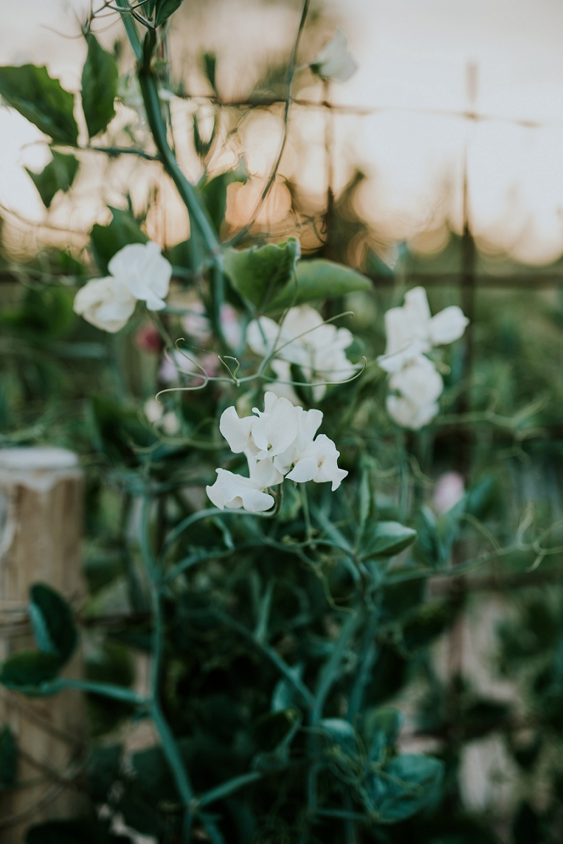 sweet-peas-cut-flower-garden