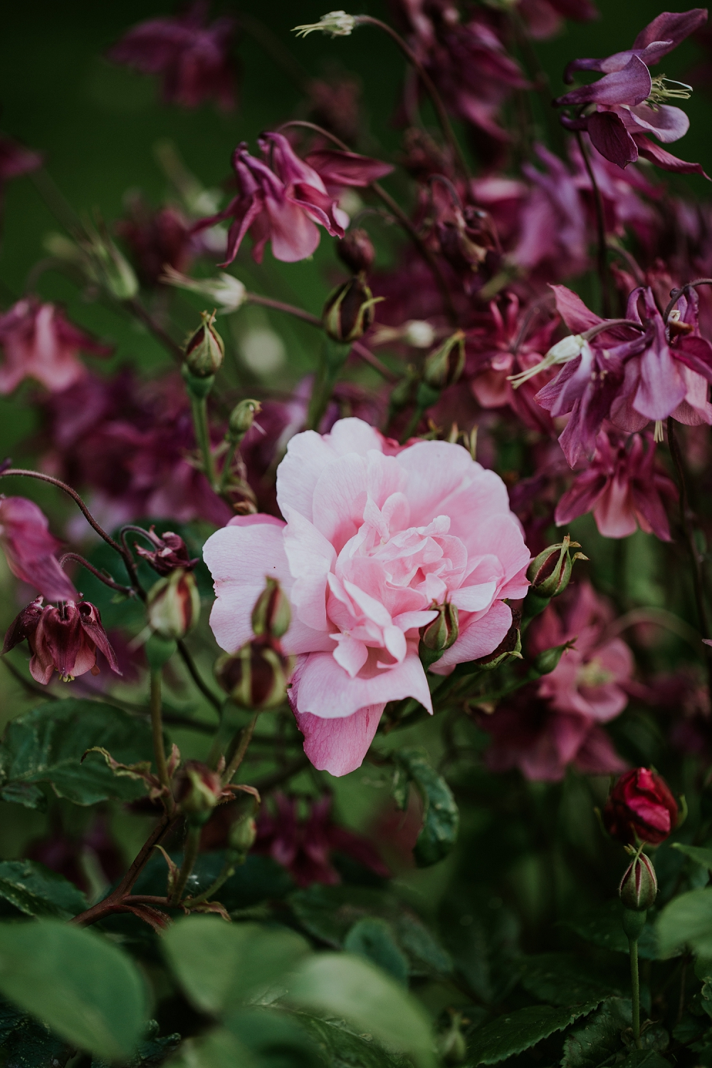 companion-planting-for-roses