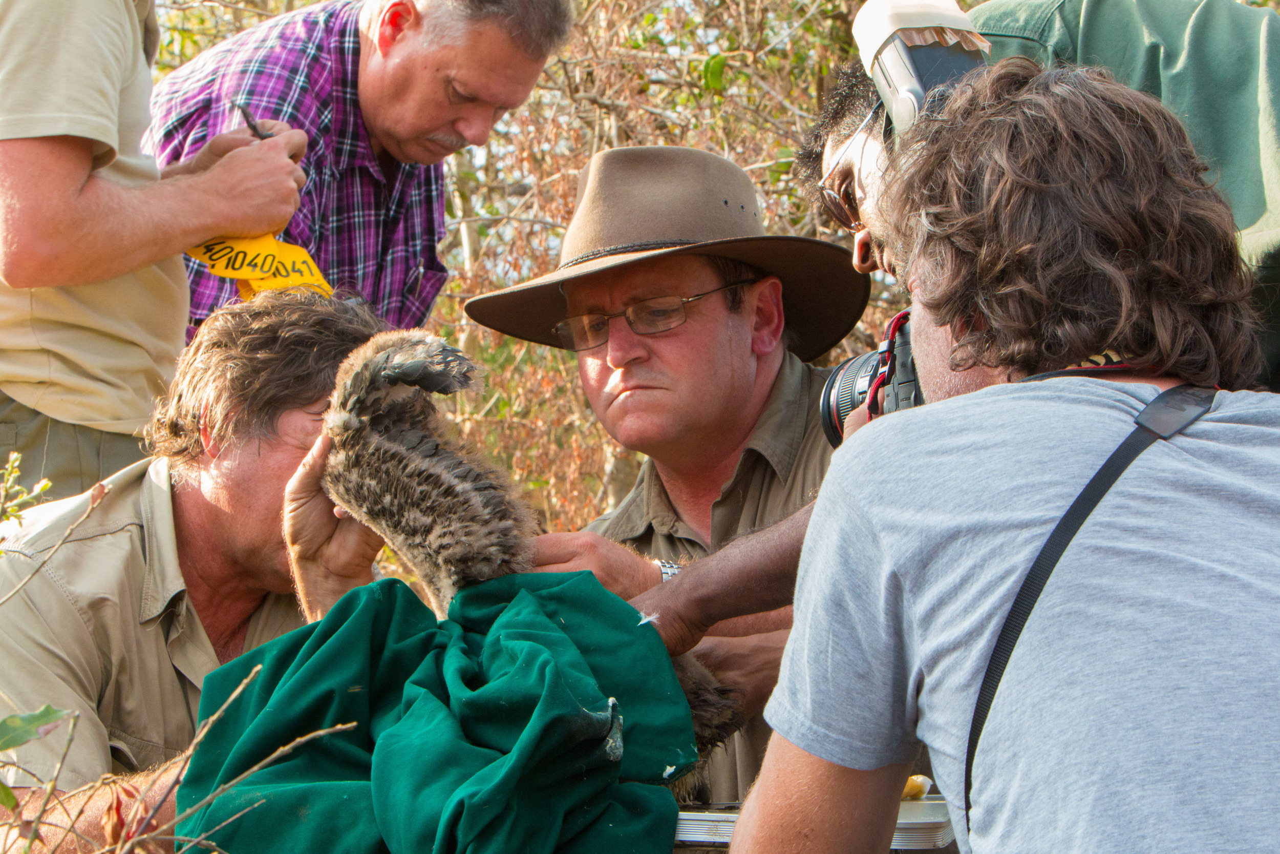 Charlie Hamilton James photographing Andre Botha ringing a young white-backed vulture chick in Mkhuze Game Reserve, Kwazulu-Natal.