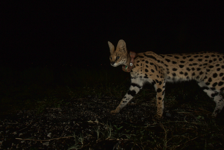 A collared serval walks past one of our photographic camera-traps on the Sasol plant in Secunda.