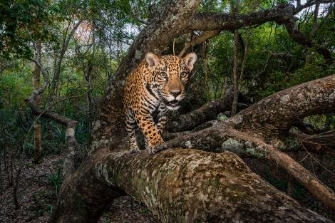 jaguar-trafficking-south-north-america-threats-8.jpg