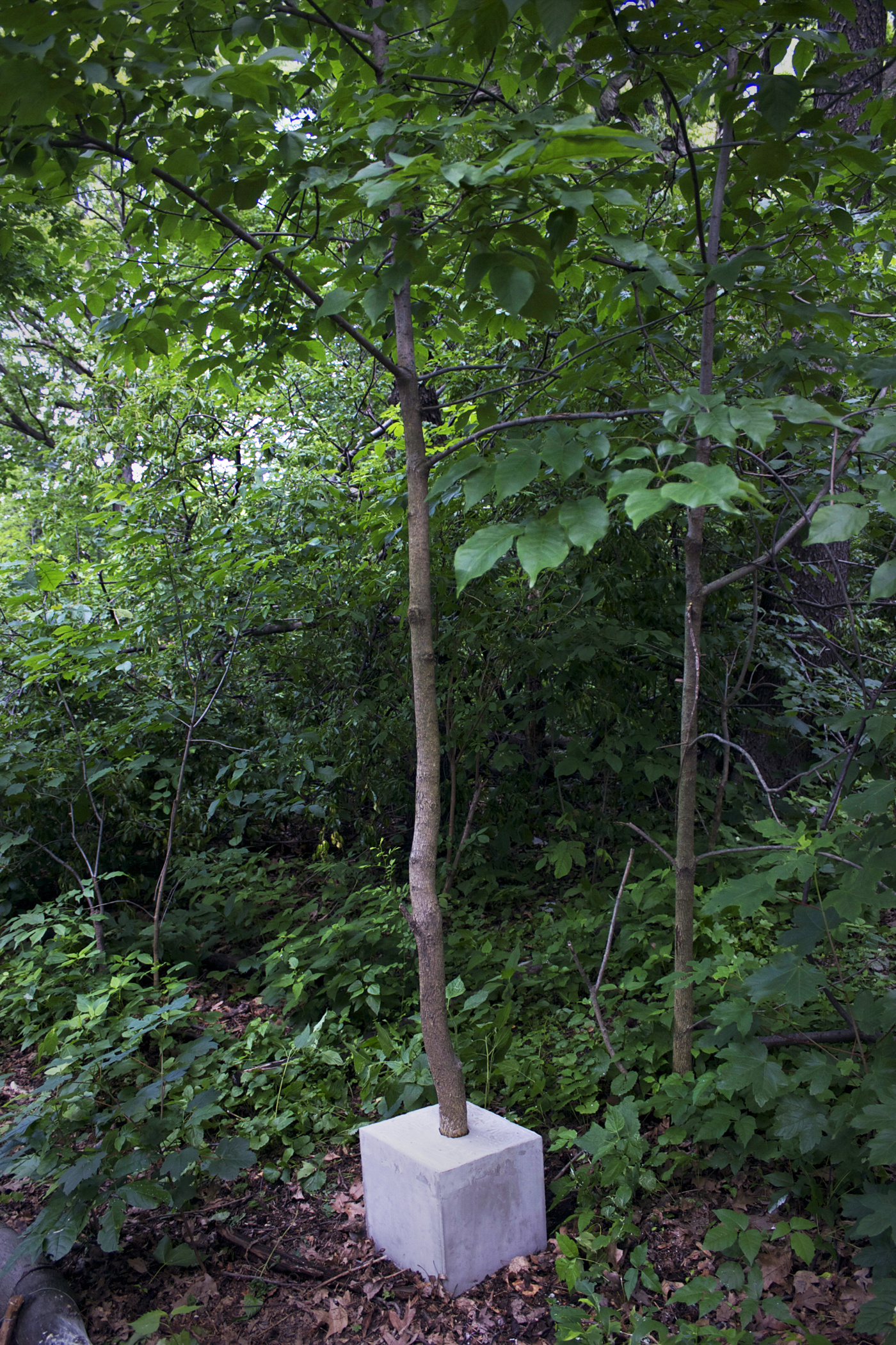 Cube tree I (Prospect Park) , 2013  Concrete, plywood, living tree  12 x 12 x 12 in (cube)  Installation view in Prospect Park, Brooklyn, NY