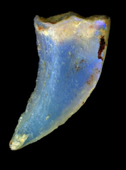 OpaliZed theropod dinosaur tooth. Lightning Ridge, New South Wales.