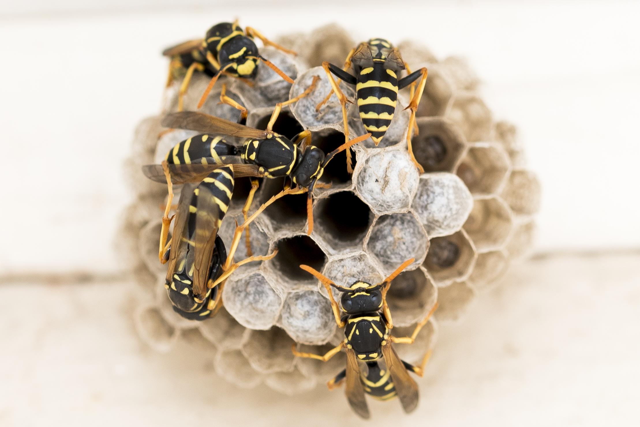 Wasps_Macro.jpg