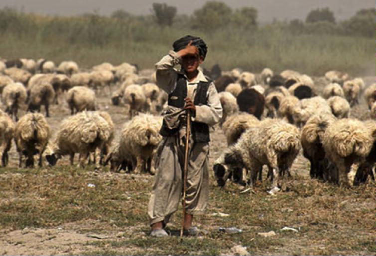 shepherd_gross