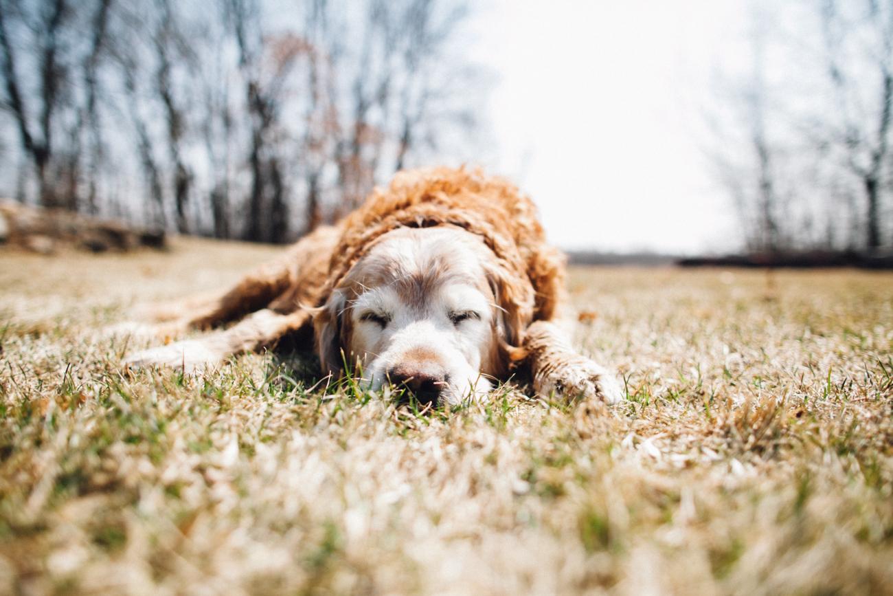 sleeping-golden-retriever.jpg