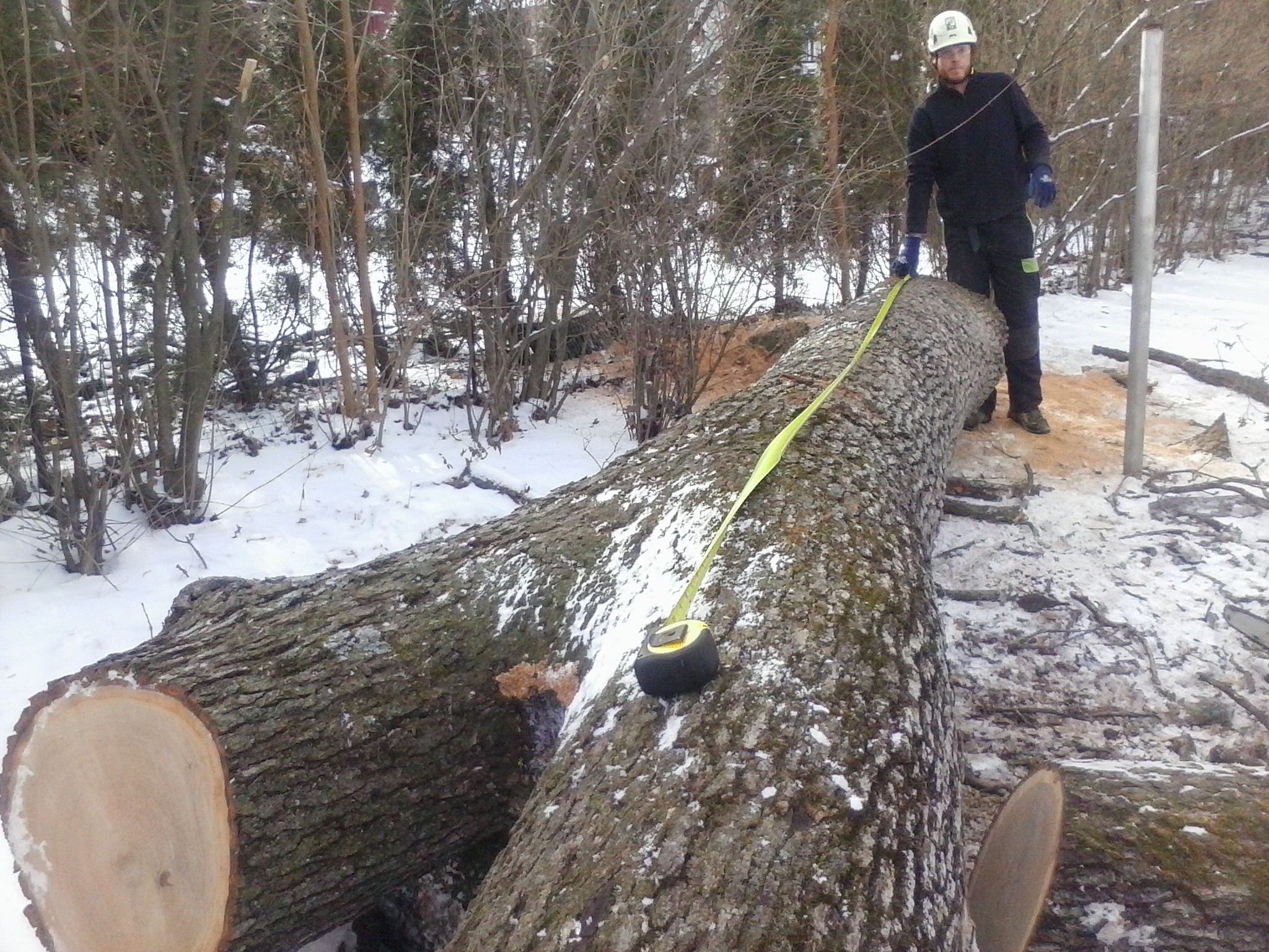 Cameron measures a sizable felled white oak tree on Madison's west side. The tree died a natural death and needed to be removed.