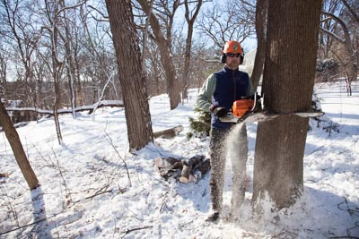 Mark notches the large trunk, in preparation for felling the tree.