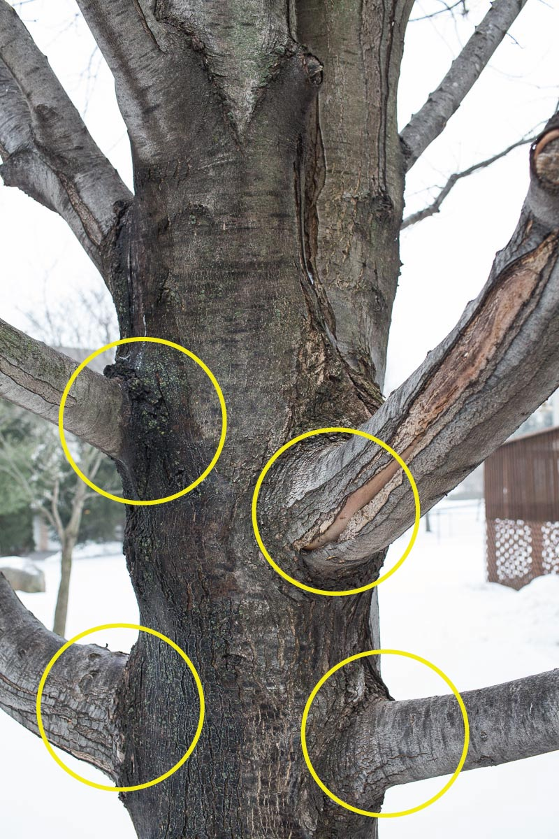 The lowest branches on this tree have strong, circular, horizontal unions.