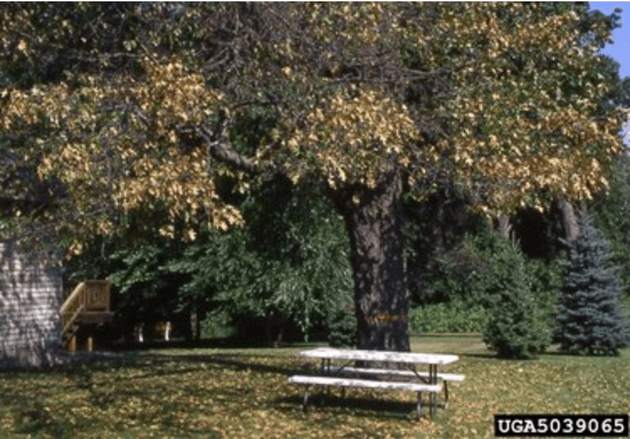 Oak tree showing evidence of Oak Wilt.