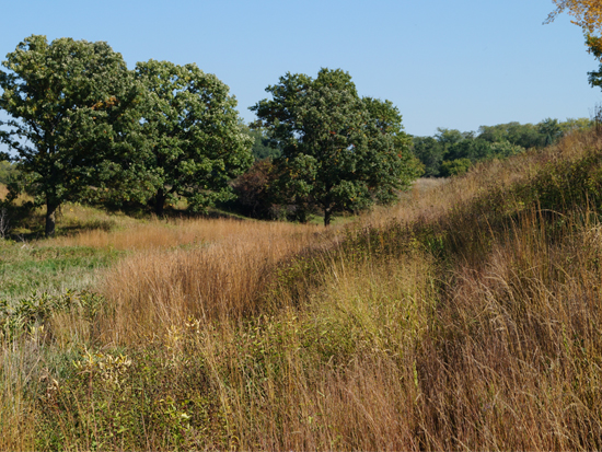 This is a successful oak savanna restoration project in Minnesota implemented by Prairie Restorations, Inc.