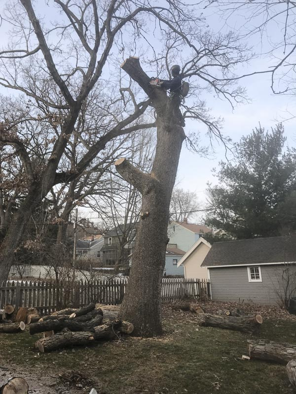 Garrett takes down a sizable oak tree off Monroe Street.