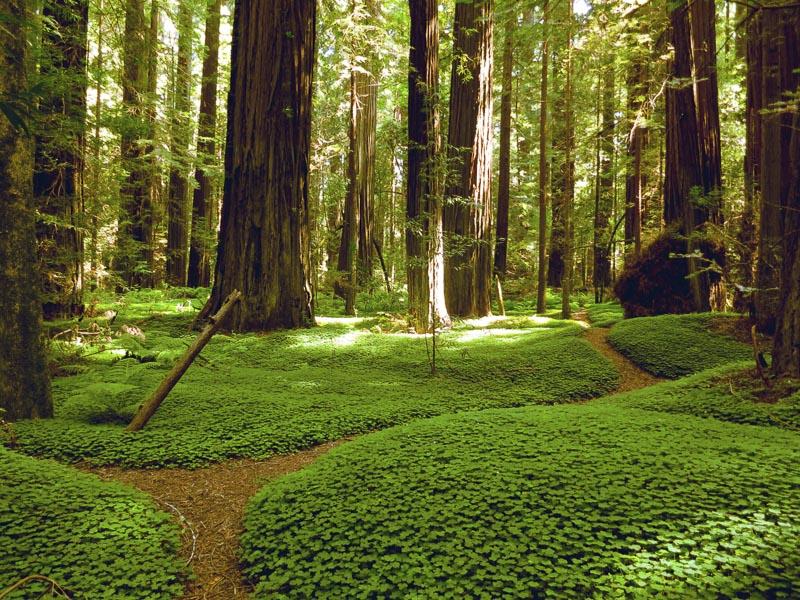RedwoodForest.jpg