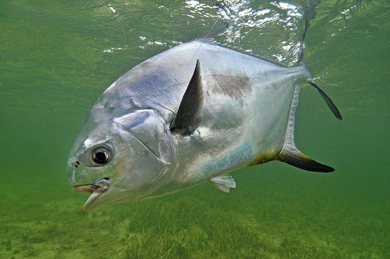 Permit are usually caught sight fishing from shallow water skiffs or bay boats on the flats