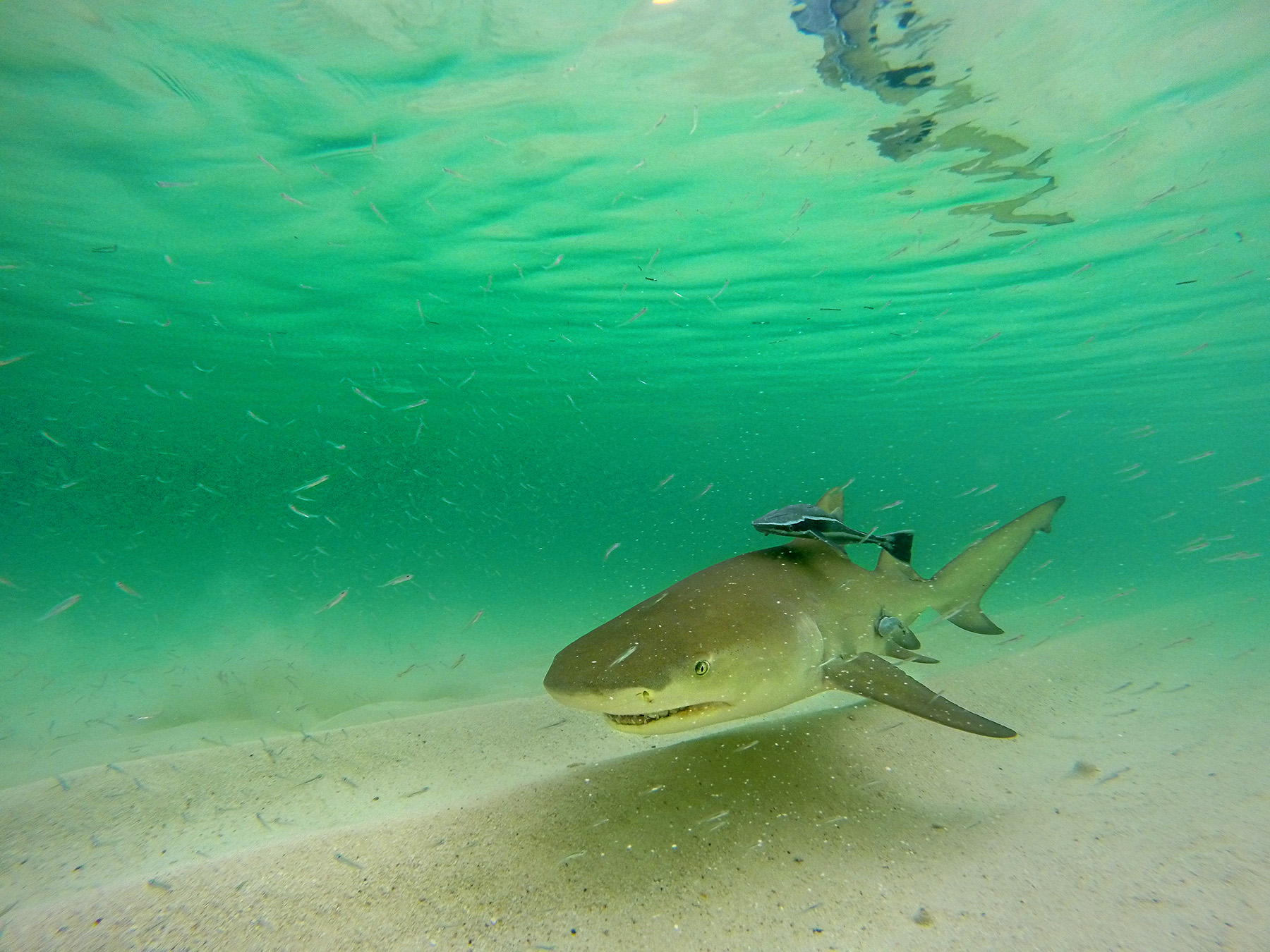 lemon-shark-underwater-in-the-florida-keys-flats-saltwater-experience-jason-stemple