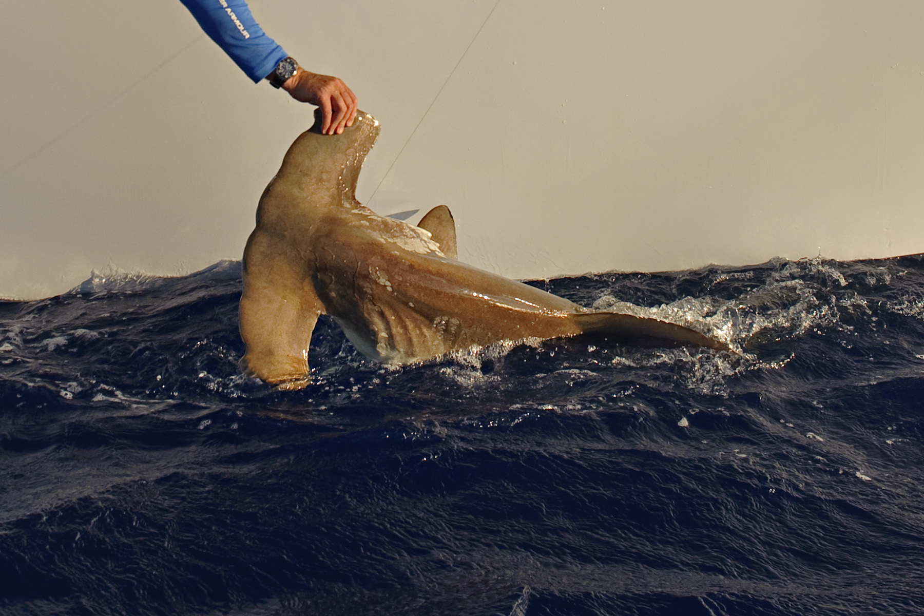 An offshore Hammerhead Shark ready for release. Nikon D700, 44mm, f/8, 1/640 sec with Into the Blue