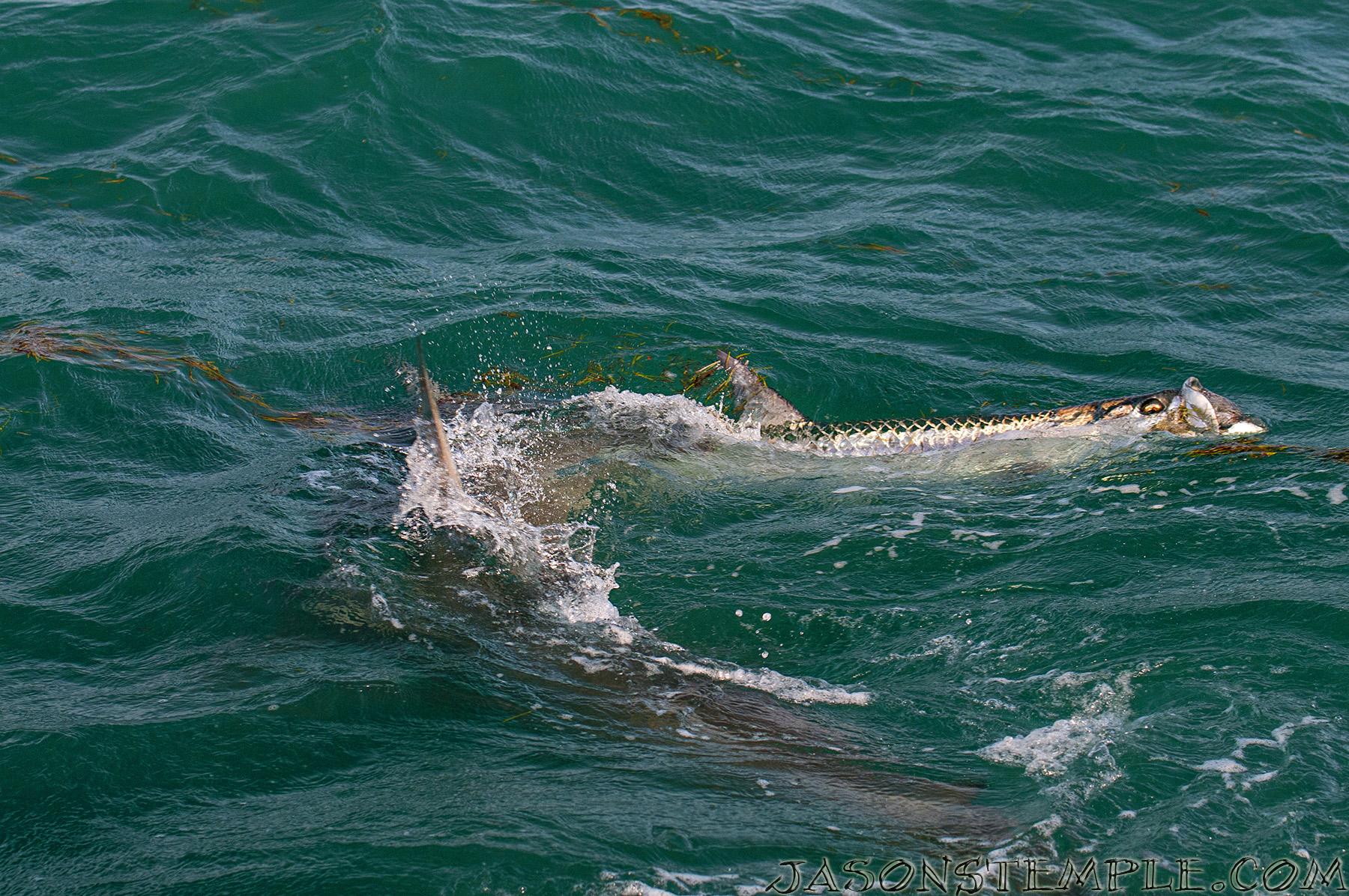 Hammerhead Shark eating a tarpon at Bahia Honda NIKON D300S, 70MM, F/5.0, 1/800 SEC