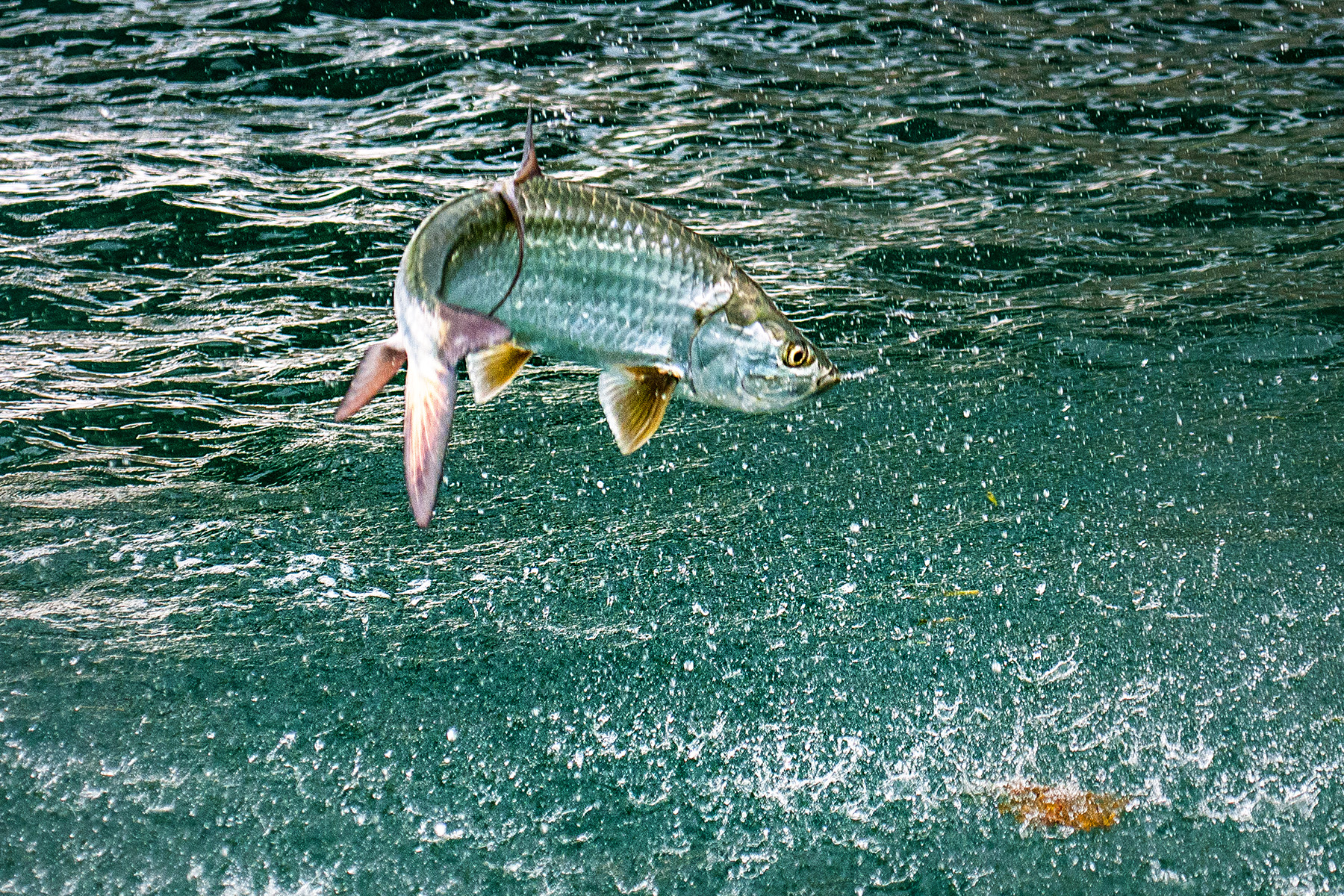 the one decent shot i got of this ballistic tarpon (not as clear as I would like, but fun anyway). nikon d300s, 130mm, f/4.0, 1/1000 sec.