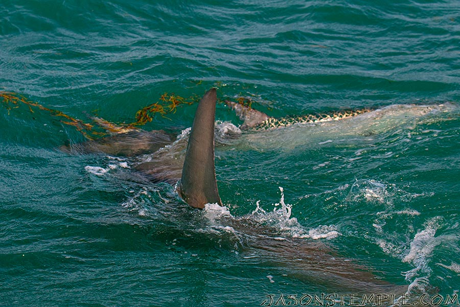 the exciting but unfortunate hammerhead encounter. nikon d300s, 70mm, f/5.0, 1/800 sec