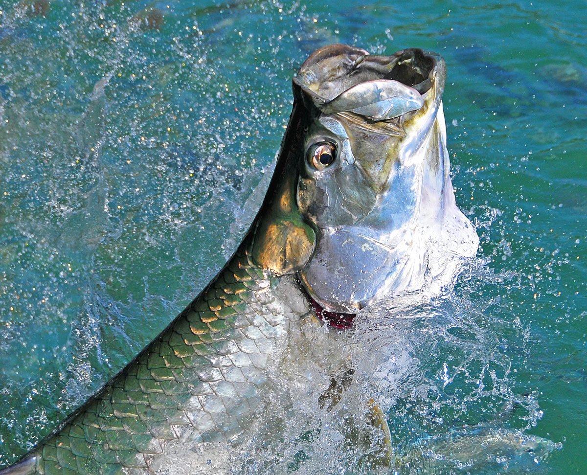 Jumping a tarpon like this is something that everyone should have the chance to experience
