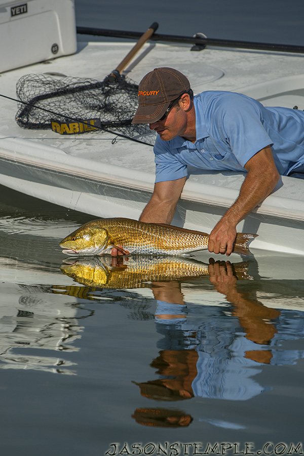 A big summer redfish goes back to Florida Bay during the hottest part of August