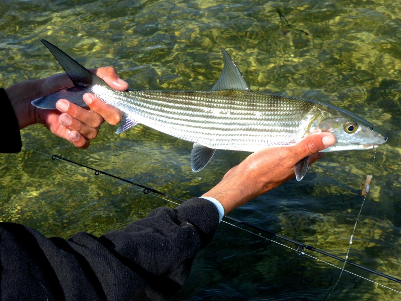 Bonefish ready for release on islamorada flats