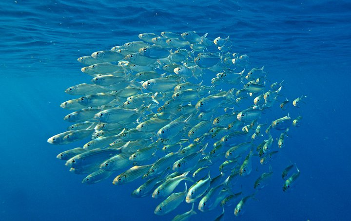 Pilchards form a bait ball for protection against PREDATORS .