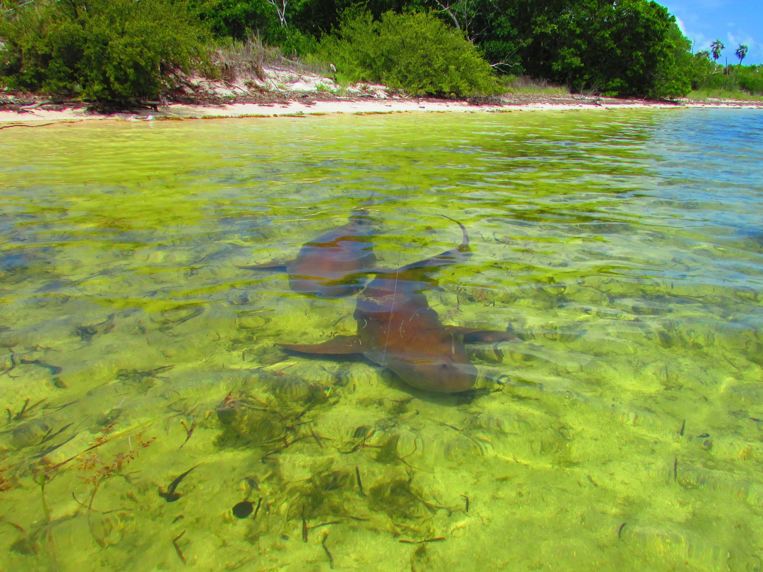 2 Nurse Sharks coming down the flat in the Marquesas