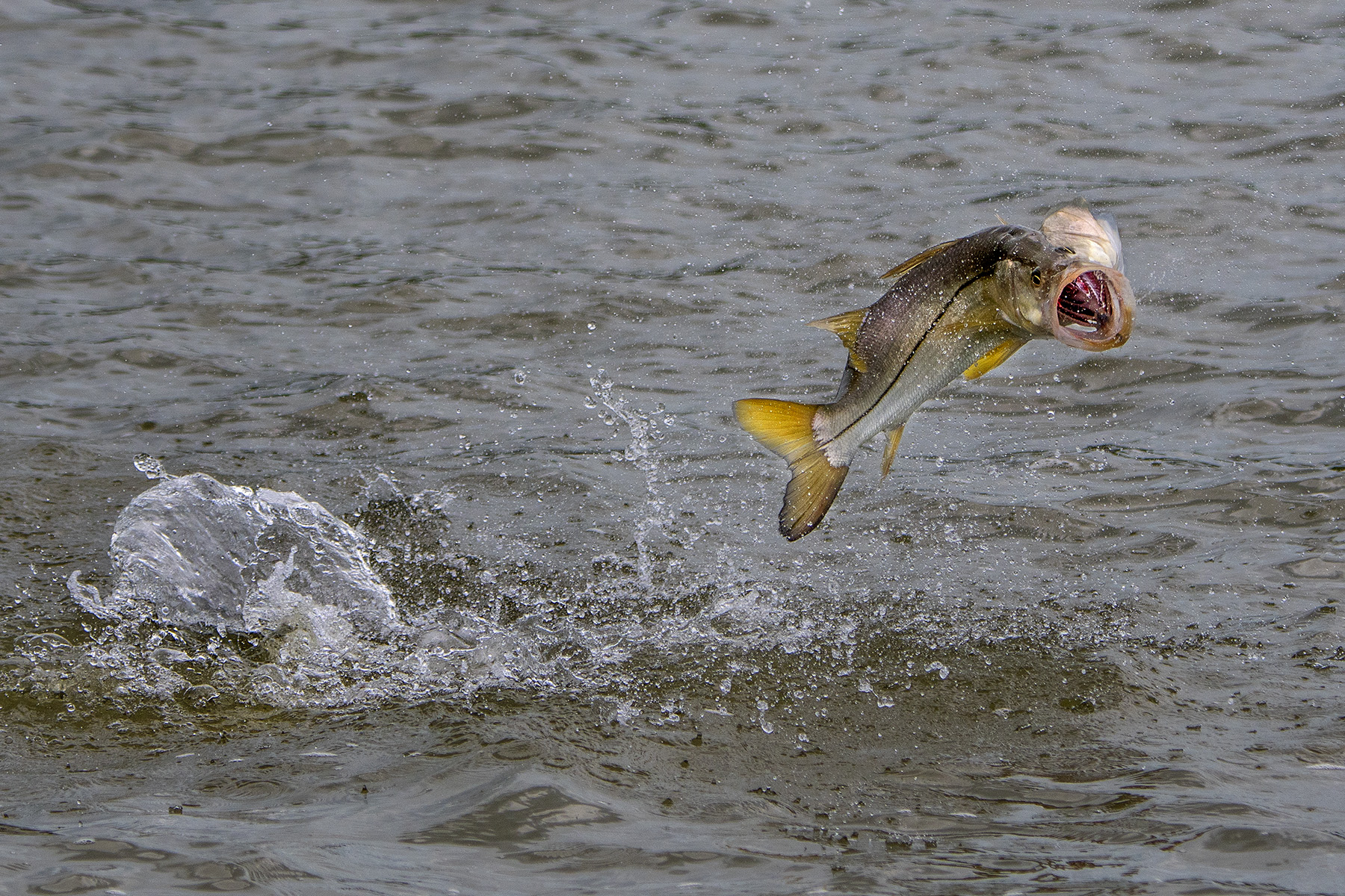snook-fishing-in-the-everglades-with-saltwater-experience-on-waypoint-tv.jpg