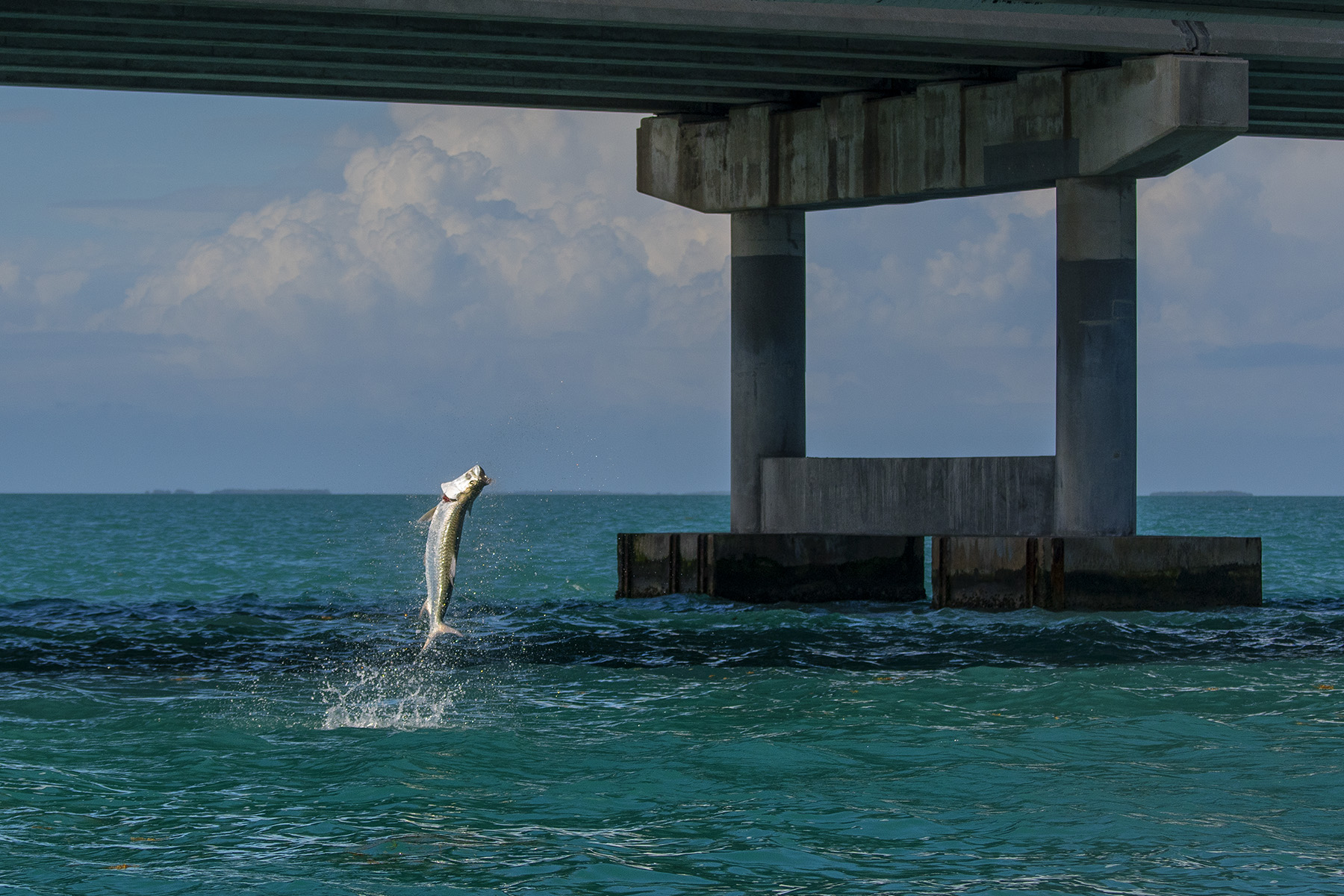 This Tarpon is showing how they accelerate when they hit the air.  Watch this episode now on Waypoint TV.